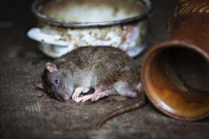 rat on table